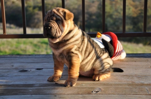 Wrinkled Chinese Shar-Pei Male  Female Puppies