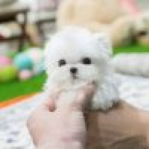 Healthy Teacup Maltese Pups Ready