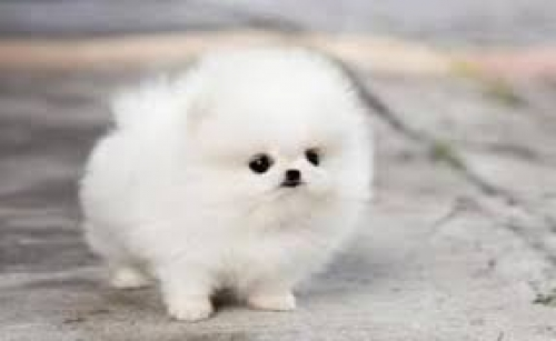 ~~CUTE POMERANIAN PUPPIES TEACUP SIZE