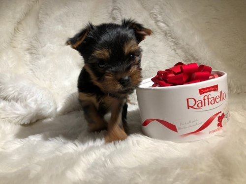 Micro Yorkshire Terrier Puppies