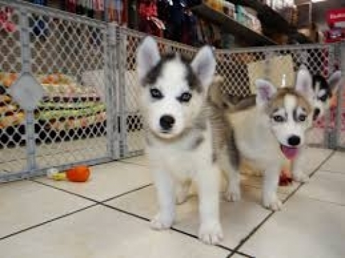 A K C Registered Siberian Husky Puppies