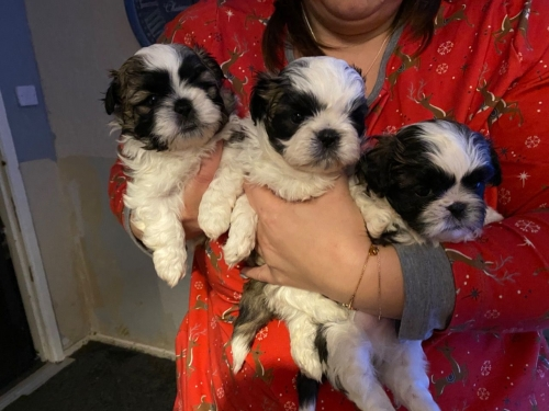 Beautiful Shih Tzu 3 Puppies Left