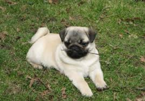 Pugs For Sale,pug Puppies For Sale,pugs For Sale Near Me,cheap Pugs For Sale,pug Puppies For Sale Near Me Teacup Pug