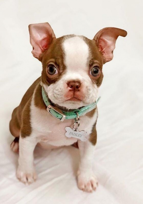 Boston Terrier Puppies, AKC Registered