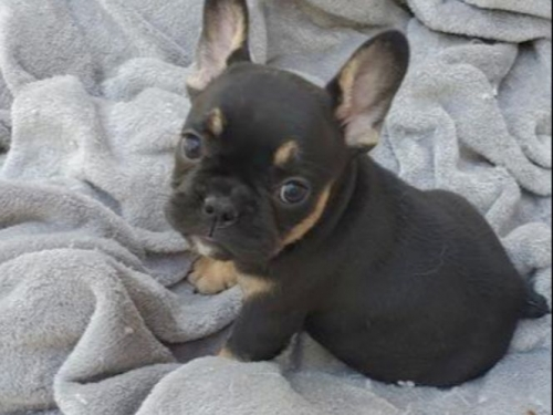 Baby Frenchies French Bulldog Akc..