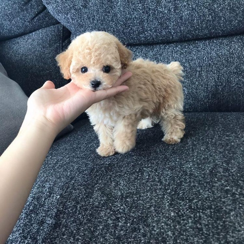 Toy Poodles Puppies For Sale