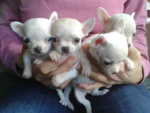 Cute And Adorable Male And Female Chihuahua Puppies Ready