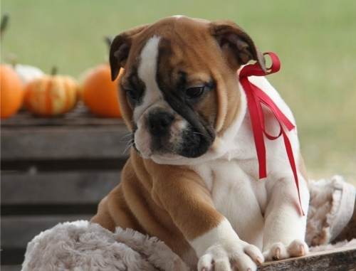 ADORABLE ENGLISH BULLDOG AVAILABLE.