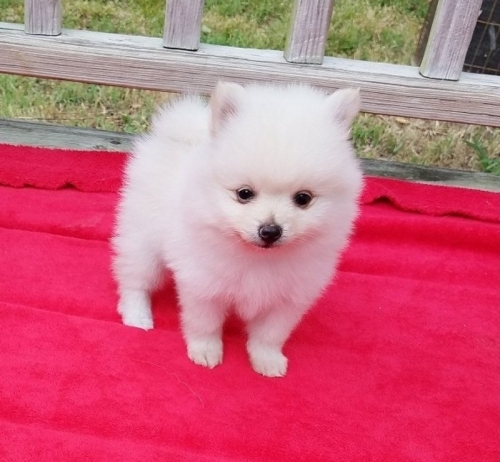 Adorable White Cream Tiny Teacup Pomeranian Puppies