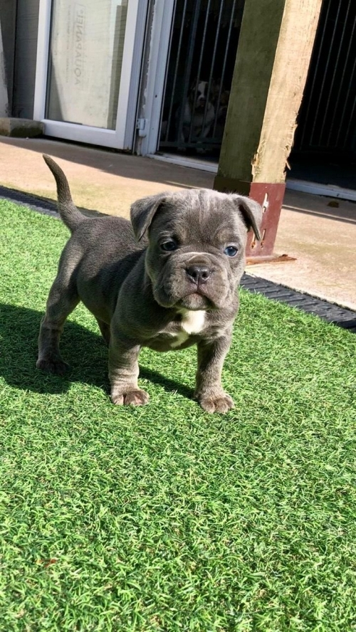 Stunning American Bully Puppies
