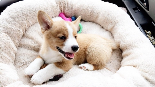 Cute Welsh Corgi Puppy For Sale