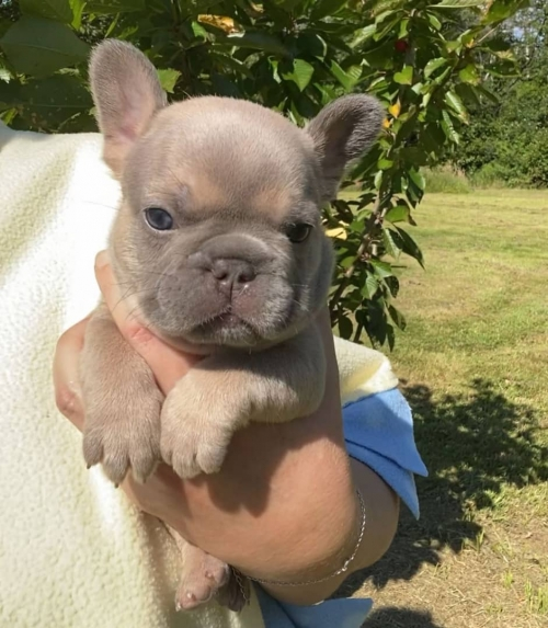 Cute French Bull Babies