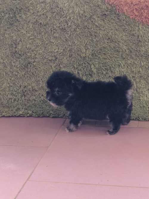 Black Teacup Maltese Puppies
