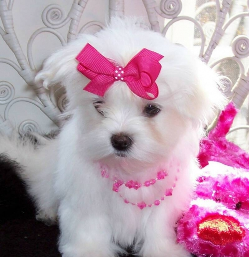 Home Trained Maltese Puppies Available 1541581-0013