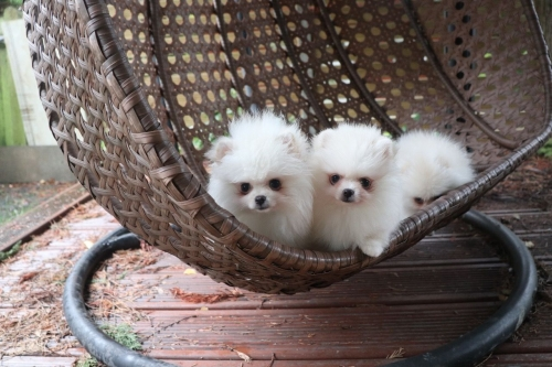 Small Super Fluffy Pomeranian Pups