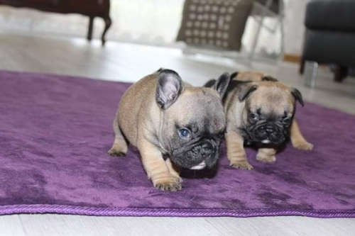 AKC French Bulldogs Text 8484677322 See