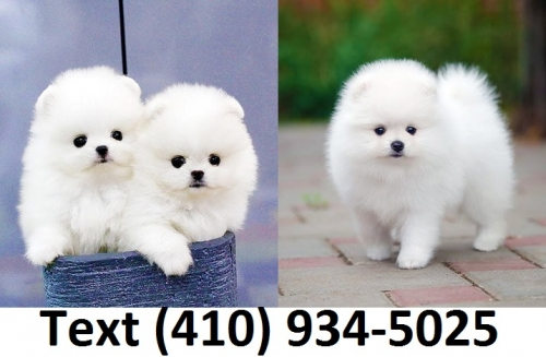 Extremely Fluffy Micro Teacup Pomeranian Puppies For Sale!