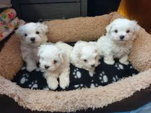 Pure Breed Maltese