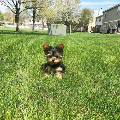Micro Teacup Yorkshire Terrier  Yorkie Male