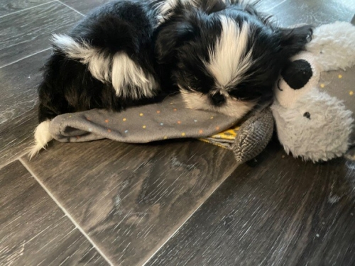@@@Shih Tzu Puppies Available@@@