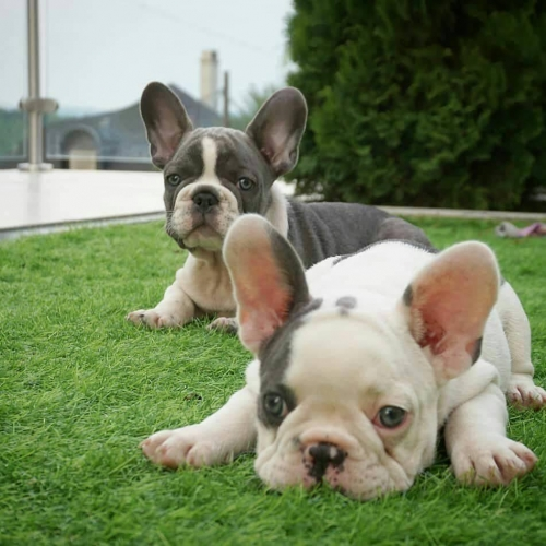 Charming Frenchie Pups