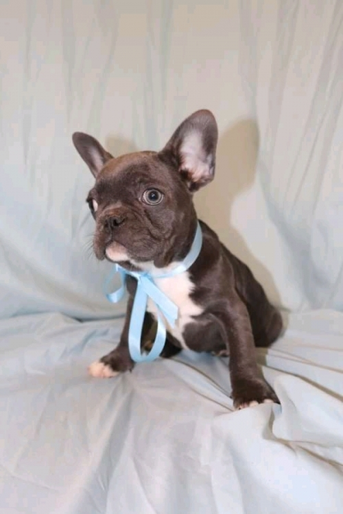 Blue French Bulldog Puppies