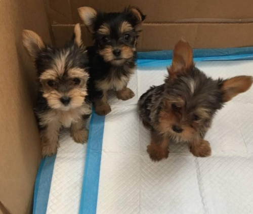 Yorkie Puppies Healthy Amazing Dogs Available!!
