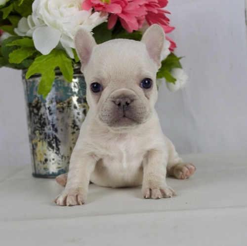 Adorable Cute French Bulldog Puppies 530-384-3788