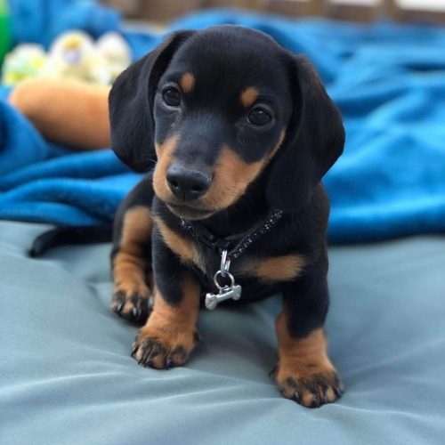 Dachshund  Puppies Available For Rehoming Text 650-503-6913