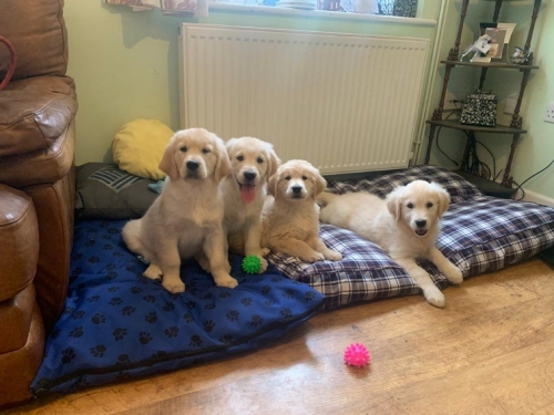 Beautiful Golden Retrievers Puppies Text Or Call 9042742403