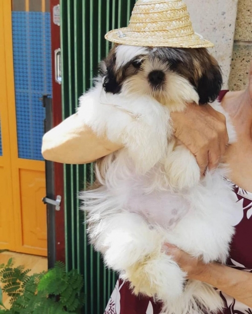 Maltese Cross Lhaso Apso