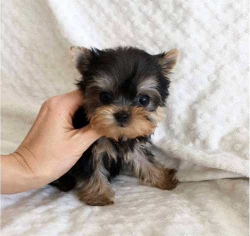 Teacup Yorkie Puppies For Adoptio