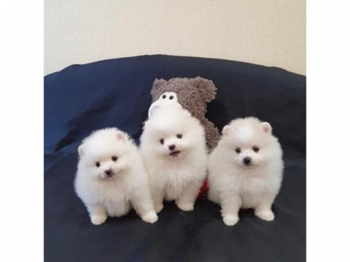 Cute Tiny Toy Pomeranian Puppies