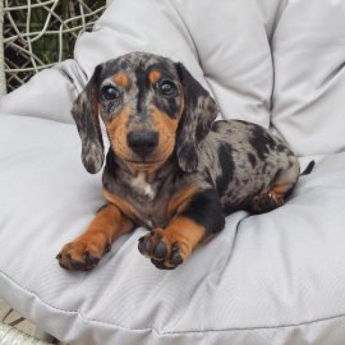 Dachshund Puppies Available For Re-homing Text312 701-3336