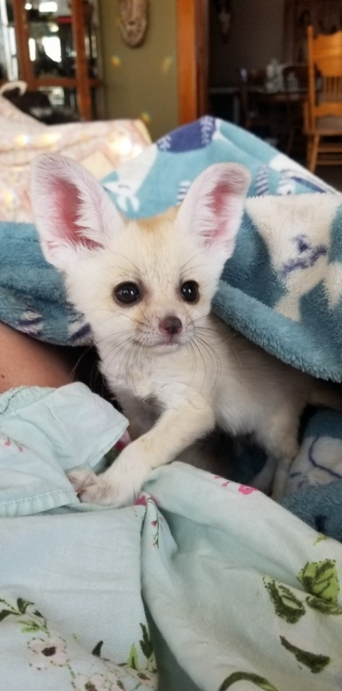 Home Trained Fennec Fox Kits USDA Licensed