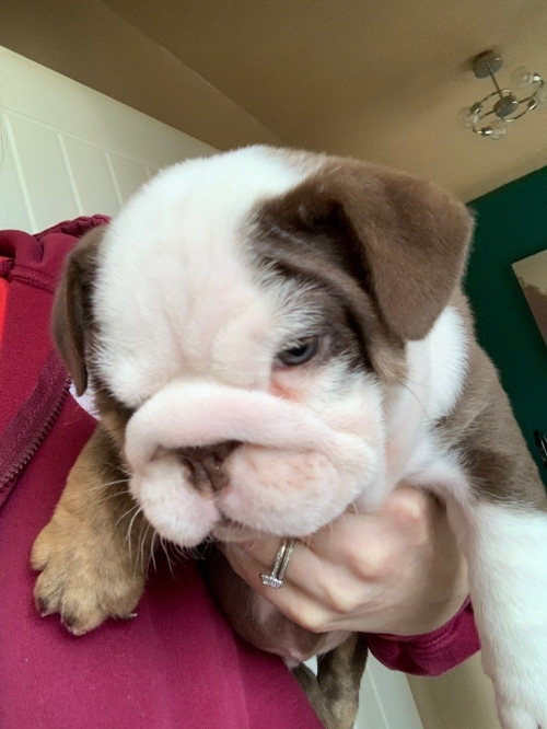 Chocolate English Bulldog Puppy