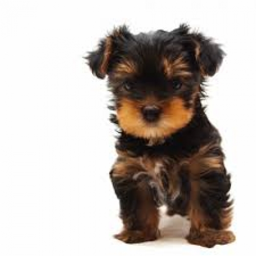 Yorkie Babies. 2 Baby Available. 12 Weeks Old.