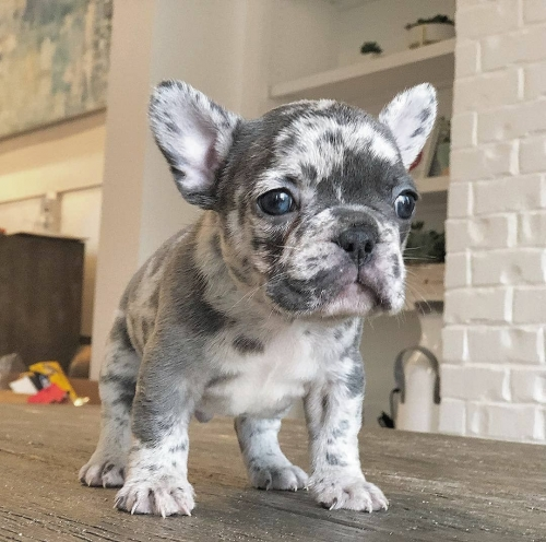 Home Trained MF Frenchie Puppies.Text,803 599 4349