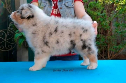 Cute Australian Shepherd Puppies Available