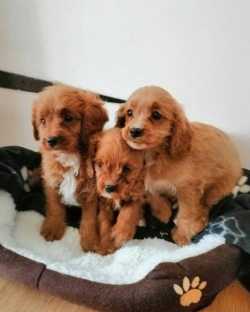 Cute Cavapoo Puppies Text 415 409-8739