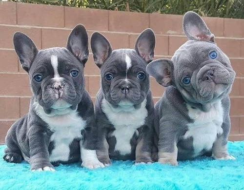 French Bulldog Puppies Ready For Re-home. 2405283207