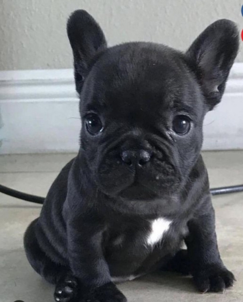 Super Adorable AKC French Bulldog Puppies Pleace Tex 2095609595