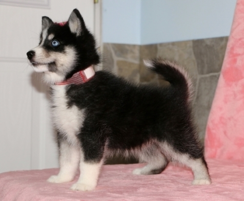 Nice Looking Male And Female POMSKY Puppies For Good Homes.