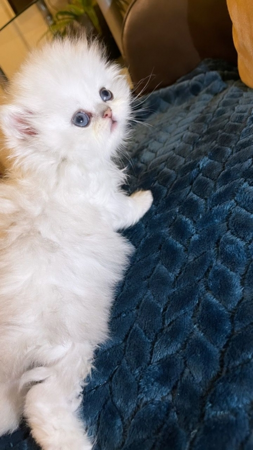 Breed Chinchilla Persian Kitten