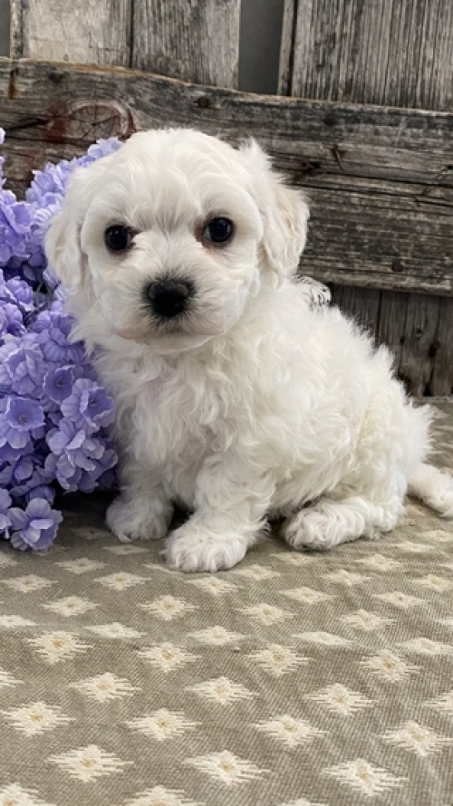 Bichon Frise Puppies Ready