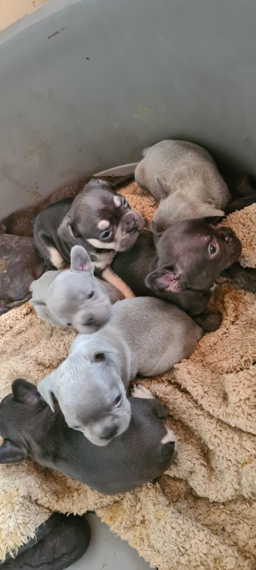 Good Looking French Bulldog Puppies For Adoption Text Us
