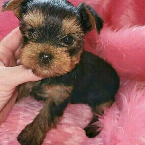 Affectionate Yorkie Puppies Available Text Us 7249132360