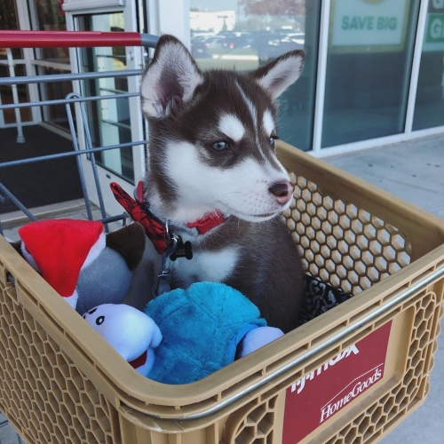 Stunning Siberian Husky Puppy Available