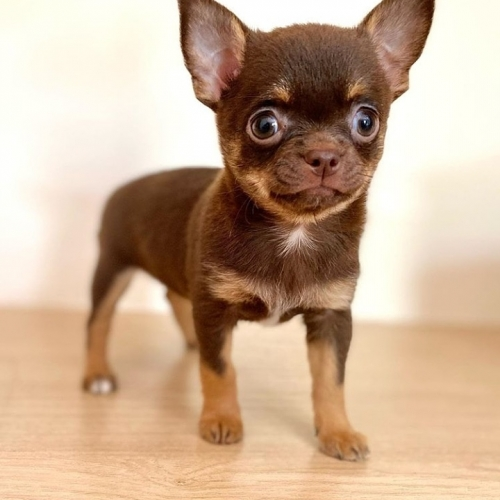Beautiful Chihuahua Puppies For Rehoming