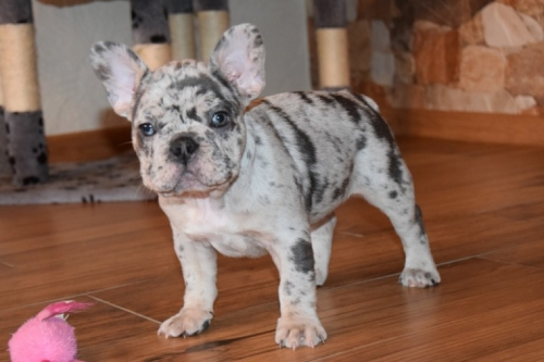 Super Adorable AKC French Bulldog Puppies   Text Us  7073583291
